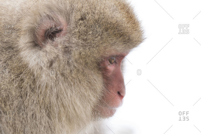 A portrait of a snow monkey  at  Nagano Prefecture, Japan