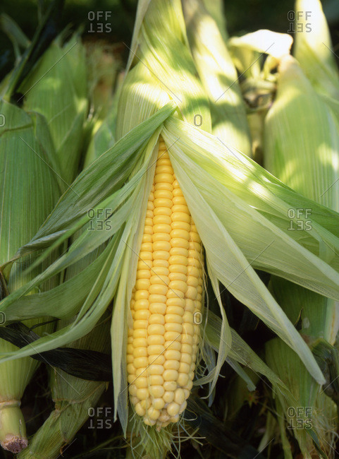 Organic, raw corns overhead