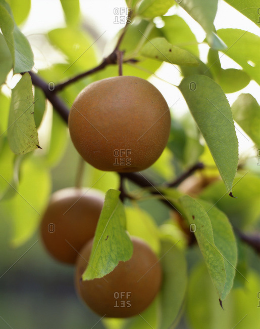 Asian pears growing on the tree