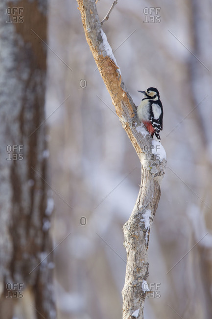A great spotted woodpecker on A  tree