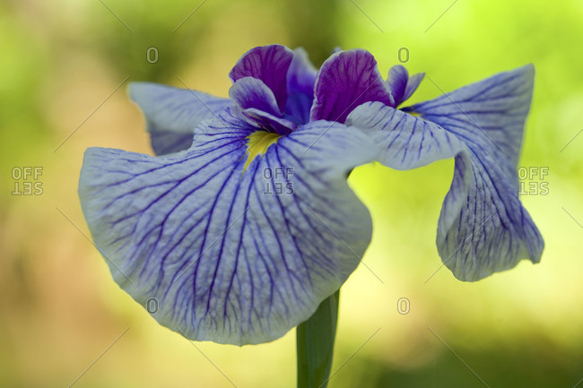 A close up of an iris flower