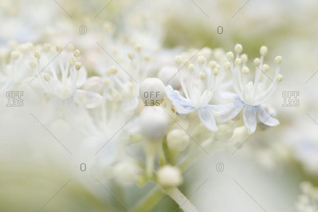 A close up of A hydrangeA bush