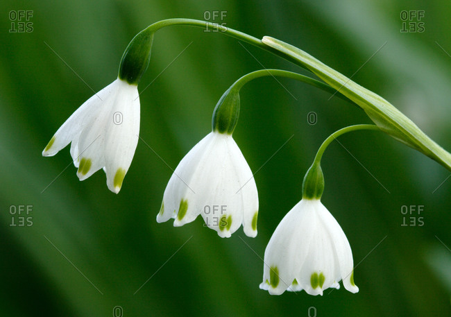 A close up of snowdrop flowers