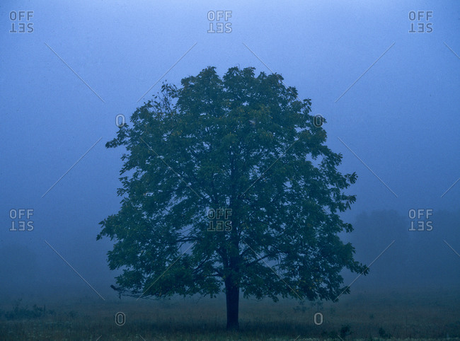 A lone tree in the pre-dawn mist