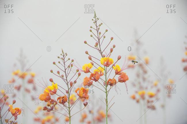 Mexican bird of paradise flowers (Caesalpinia pulcherrima)
