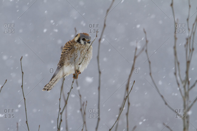 Female perched and hunting in Spring snowfall