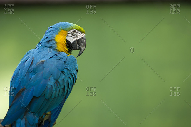 Portrait of a Gold and Blue Macaw