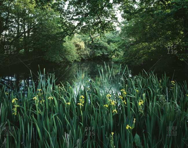 Lake And Yellow Irises