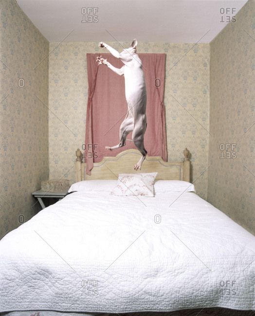 Cat Bouncing On Bed
