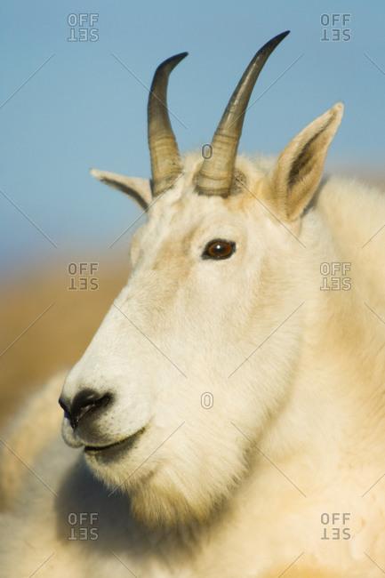 Mountain goat portrait, Mount Evans, Colorado