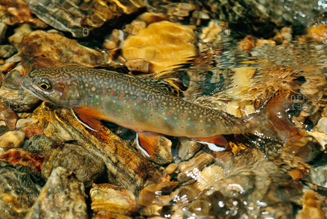 Southern Appalachian Brook Trout in a creek, North Carolina