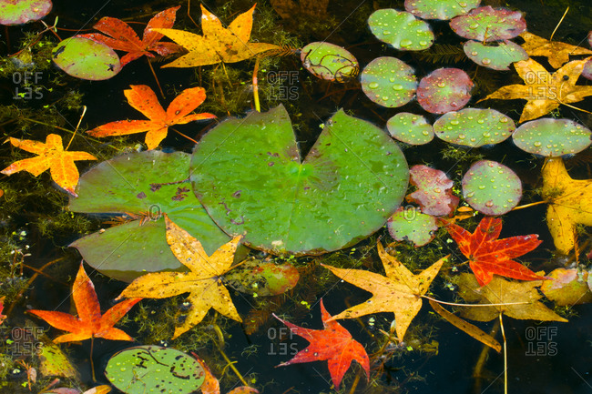 Lily pads and autumn sweetgum leaves in dark water