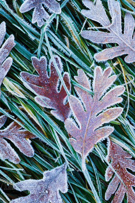 Morning frost forms a delicate crust around oak leaves and grass, South Carolina
