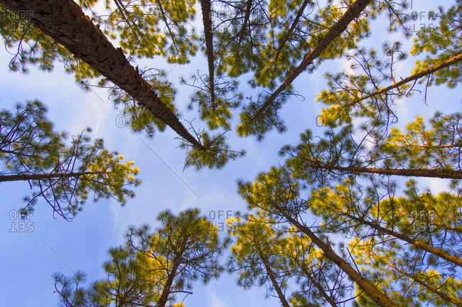 Looking up at a pine forest against blue sky, Harbison State Forest, South Carolina