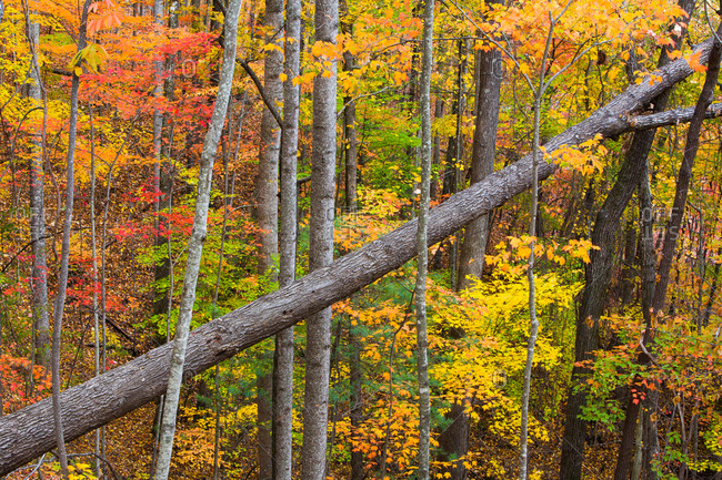 Brilliant fall color, Sumter National Forest, South Carolina, USA