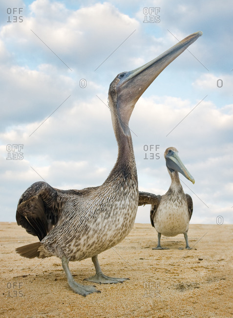 Brown pelicans at Cape Point, Cape Hatteras National Seashore, Outer Banks, North Carolina