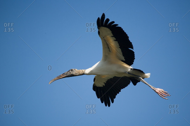Flying Wood Stork in Saint Augustine, Florida, USA
