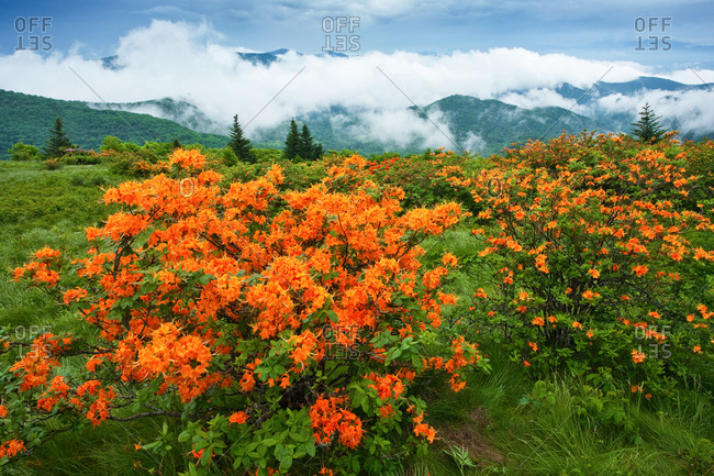 Flame Azaleas on Round Bald after thunderstorm in Roan Highlands, North Carolina and Tennessee