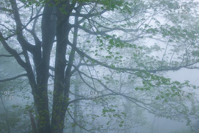 Tree on a foggy spring day in Blue Ridge Parkway, North Carolina