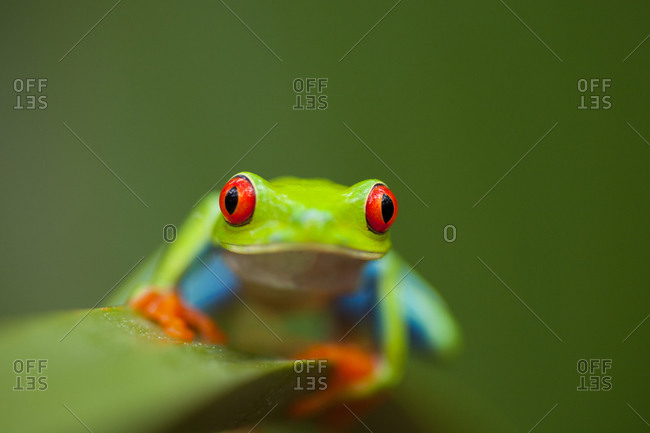 Close-up of a Red-eyed tree frog sitting on a green leaf by Monkey River in Toledo District, Belize
