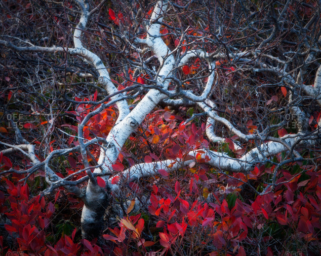 Twisted White Birch and Huckleberries, Cadillac Mountain, Acadia National Park, Maine