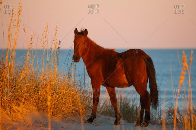 Wild horse on dune at Carova Beach, Currituck Banks, North Carolina