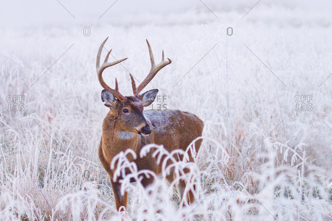 Whitetail buck in frosty meadow in Cades Cove, Great Smoky Mountains National Park, Tennessee