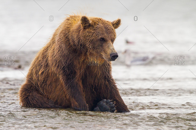 Brown bear sitting in water in Katmai National Park and Preserve, Alaska, USA