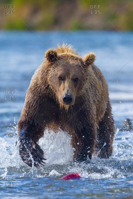 Brown bear hunting for salmon in Katmai National Park and Preserve, Alaska, USA