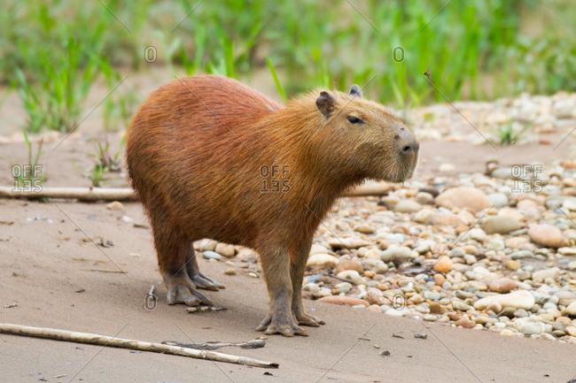 Capybara Hydrochoerus hydrochaeris in the Tambopata National Reserve of the Amazon Basin, Peru