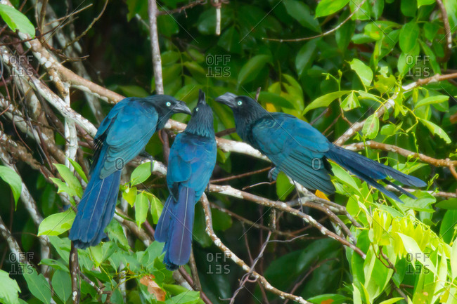 Trio of Greater Anis in Tambopata National Reserve, Peru