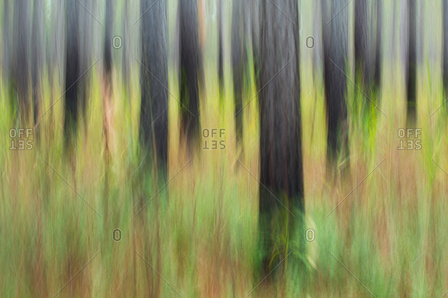 Long leaf pine forest in ACE Basin, South Carolina, USA