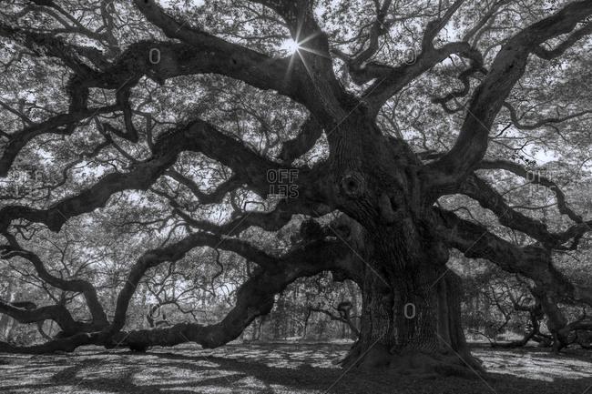 The Angel oak on Johns Island, South Carolina