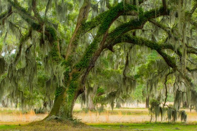 Live oak tree draped in Spanish moss in ACE Basin, South Carolina, USA