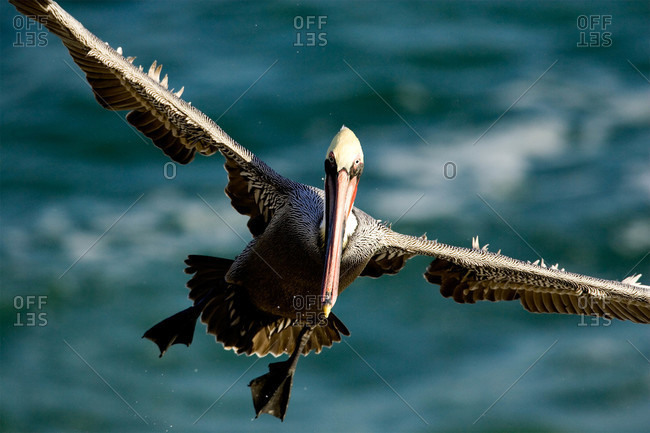 A brown pelican in mid air over the ocean