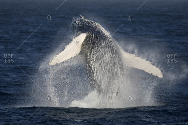 Breaching Humpback Whale, Sea of Cortez, Baja California, Mexico