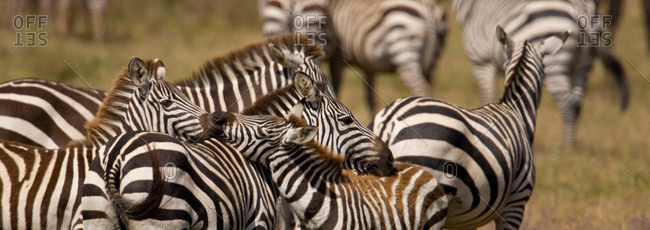 A mother zebra tends to her young.