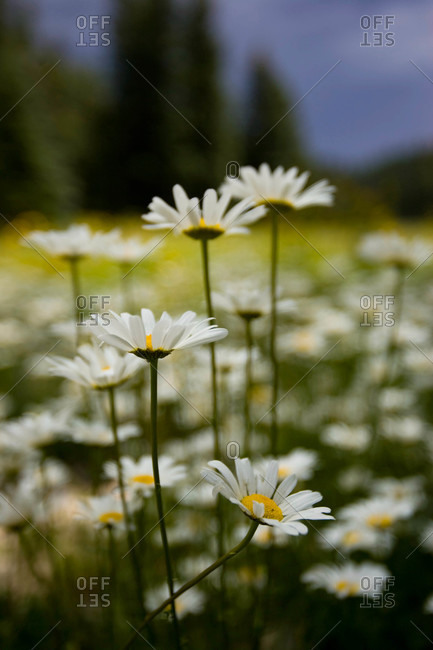 A small group of daisies stands in the foreground of a flower field