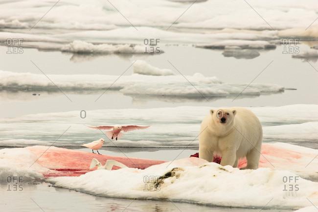 A lone polar bear eats a bloody carcass, as seabirds wait close by
