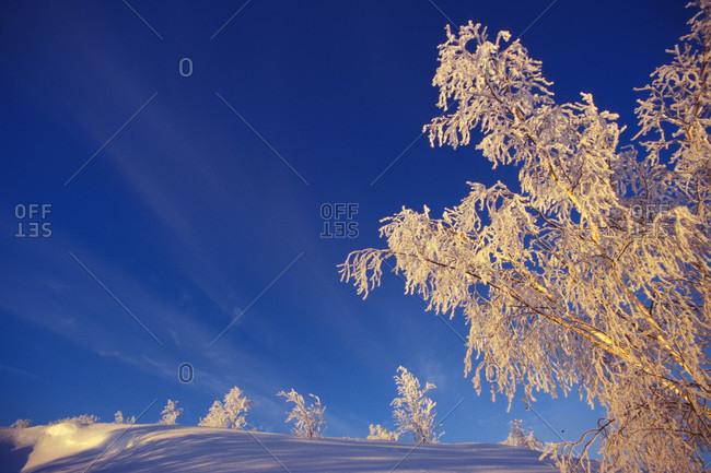 Hoar frost on trees in a snowy landscape