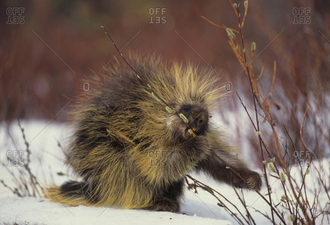 porcupine feeds on pussy willows