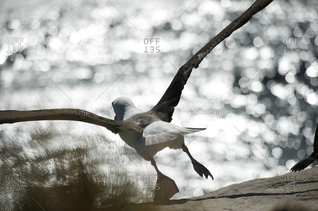 Black-browed Albatross chick on a nest (Thalassarche melanophrys) is a large seabird of the albatross family