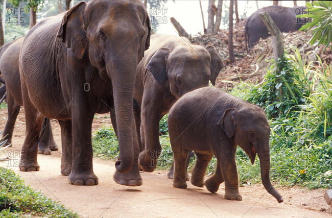 A protective family of endangered Asian  Elephants and their calf