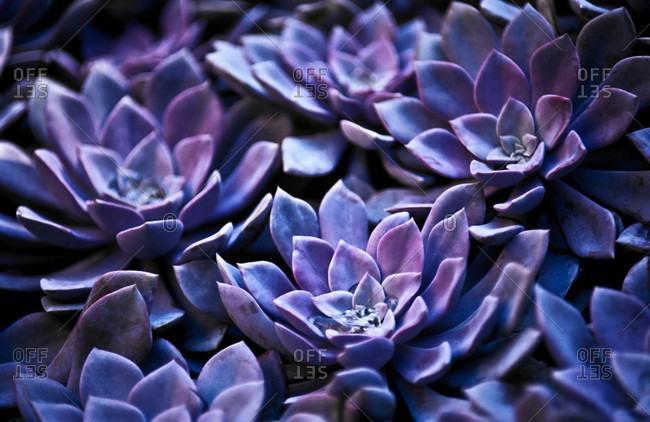 Purple fleshy leaves of Graptoveria suculents suit arid conditions