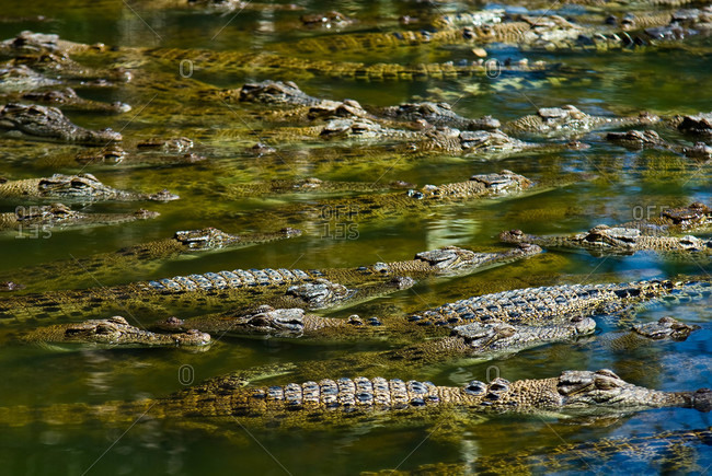 A float of Saltwater Crocodiles sun basking on the waters surface