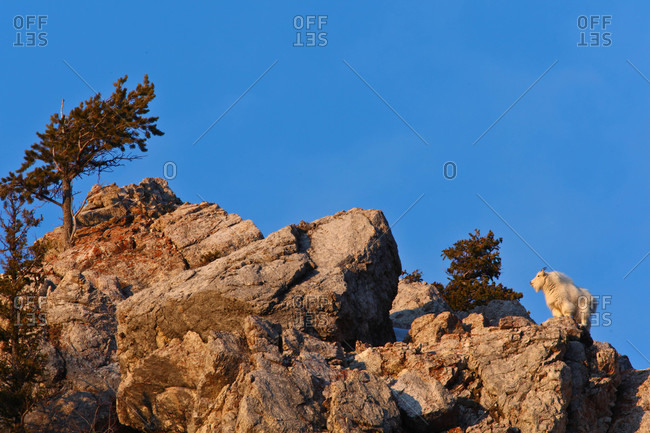 Mountain Goats are at home in the cliffs