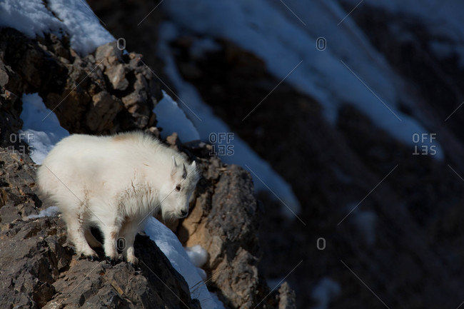 Young Mountain Goats learn quickly to move through rocky terrain