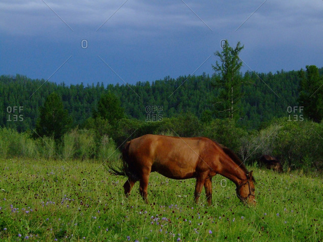 wild horse grazing in Mongolia