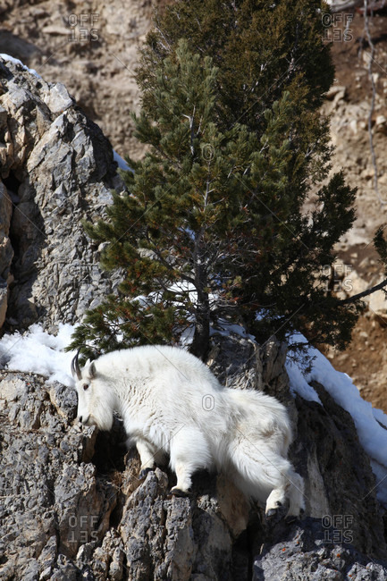 Mountain Goats are excellent climbers and move very well on cliffs