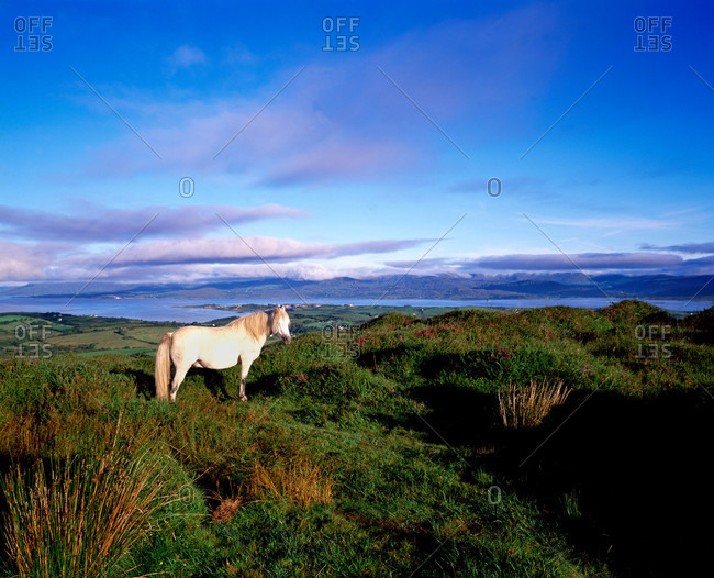 A white pony stands in the Irish countryside